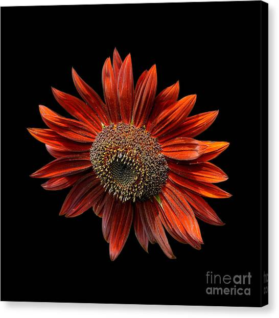 Red Sunflower On Black Canvas Print