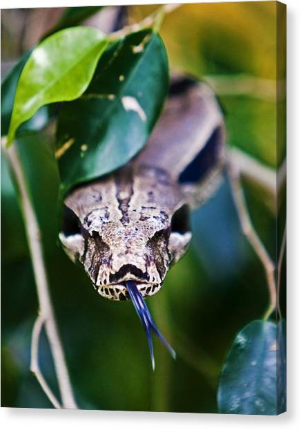 Red Tail Boa Canvas Print