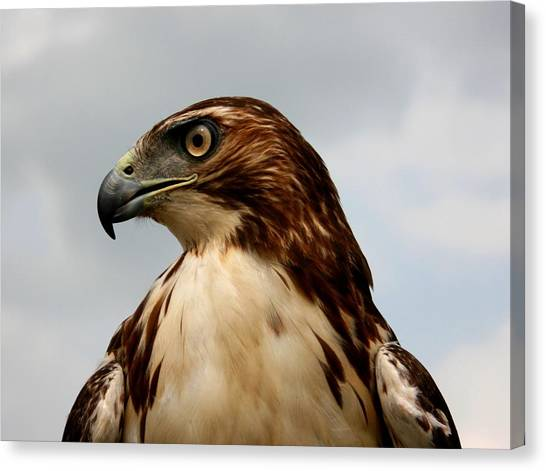 Red Tail Hawk 1 Canvas Print