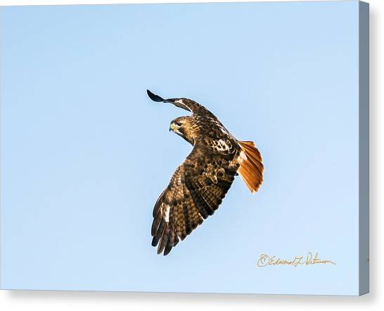 Canvas Print featuring the photograph Red-tail Hawk In Flight by Edward Peterson