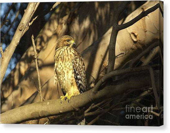 Red Tail Hawk Canvas Print by Marc Bittan