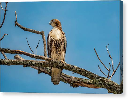 Red Tail Hawk Perched Canvas Print