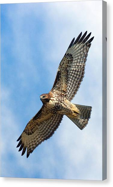 Hawks Canvas Print - Red Tail Hawk by Randall Ingalls