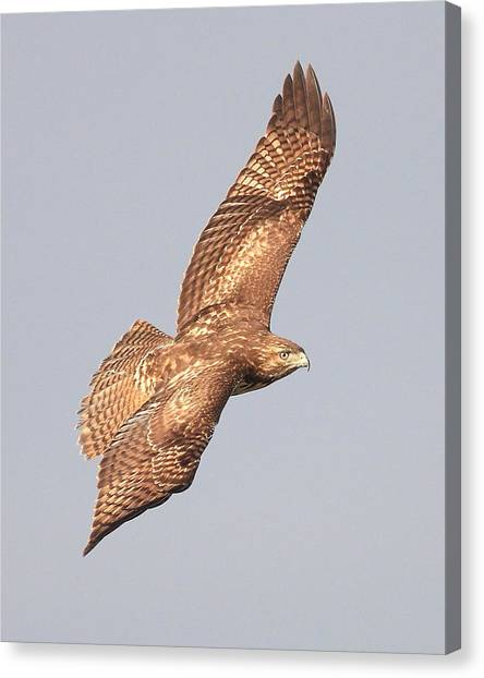 Red Tailed Hawk 20100101-4 Canvas Print by Wingsdomain Art and Photography