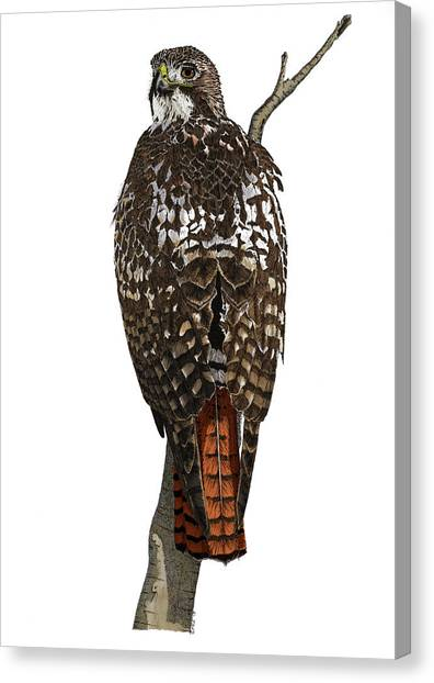Red-tailed Hawk - Color Canvas Print