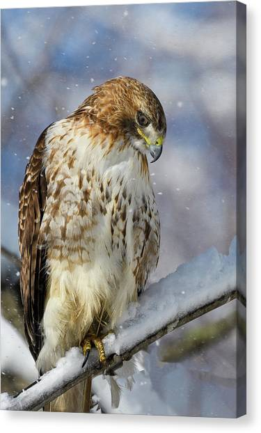 Red Tailed Hawk, Glamour Pose Canvas Print