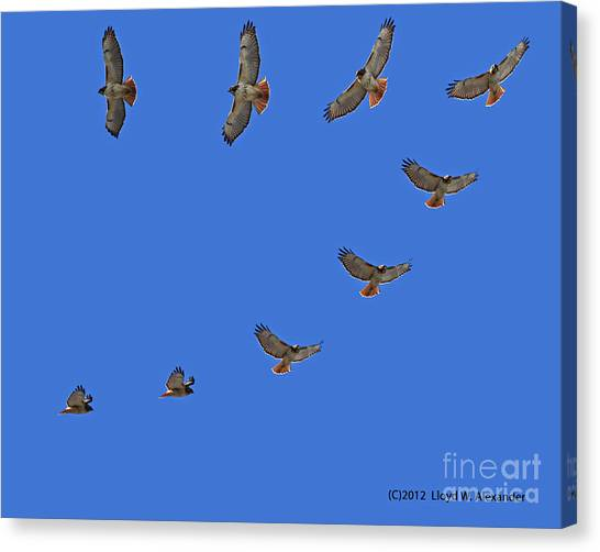 Red Tailed Hawk In Flight Canvas Print