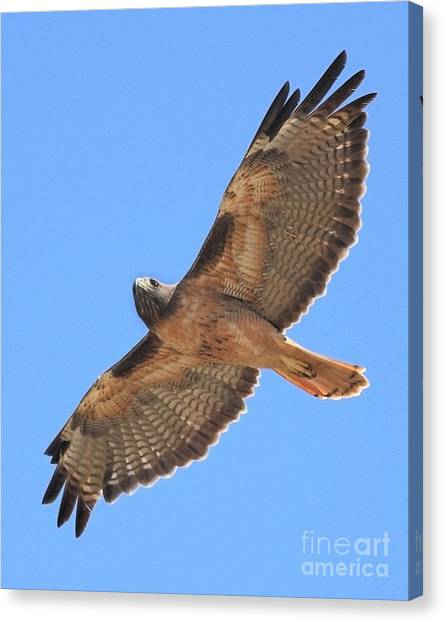 Canvas Print featuring the photograph Red Tailed Hawk In Flight by Wingsdomain Art and Photography
