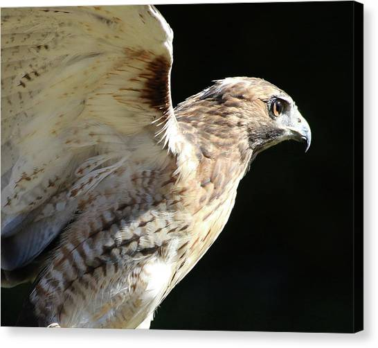 Canvas Print featuring the photograph Red-tailed Hawk In Profile by William Selander