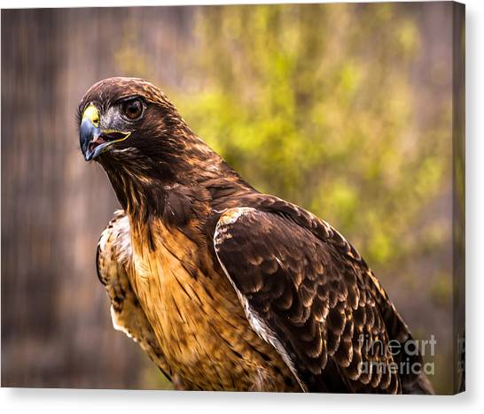 Red Tailed Hawk Profile 2 Canvas Print