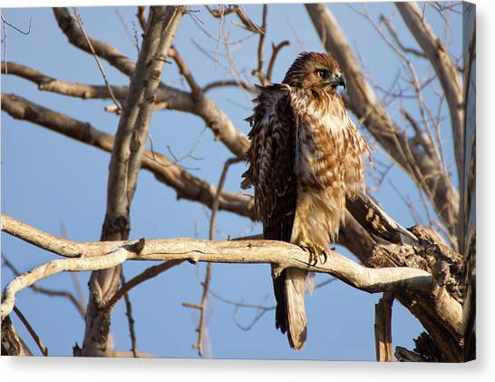 Red Tailed Canvas Print