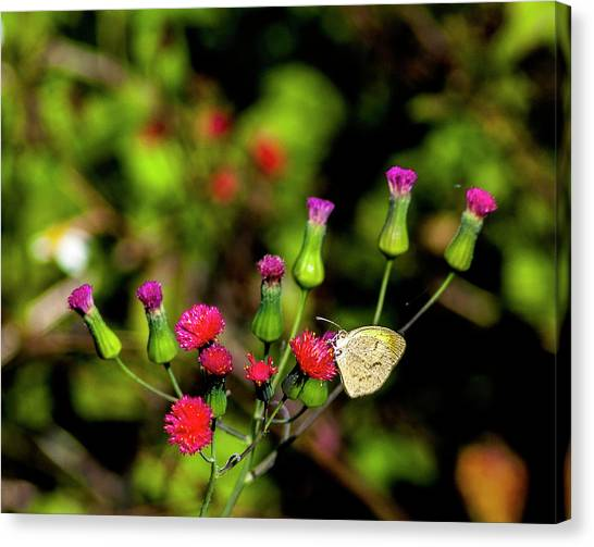 Sulfur Butterfly Canvas Print - Red Tassel And Sulfur by Norman Johnson