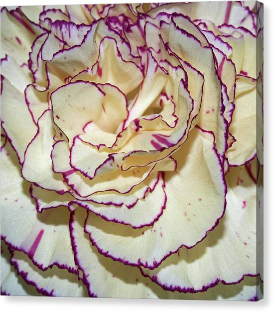 Red Tipped Carnation Canvas Print