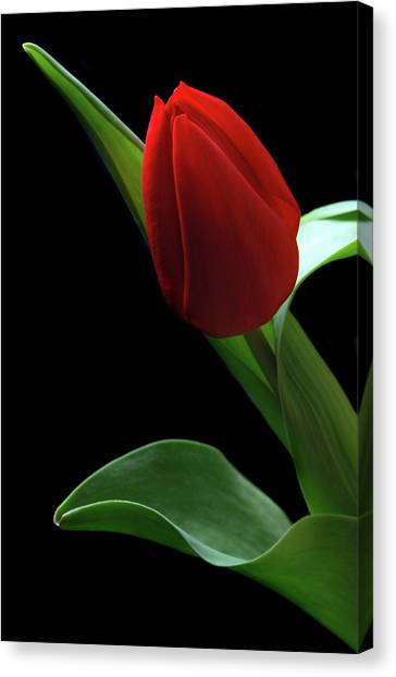 Red Tulip. Canvas Print