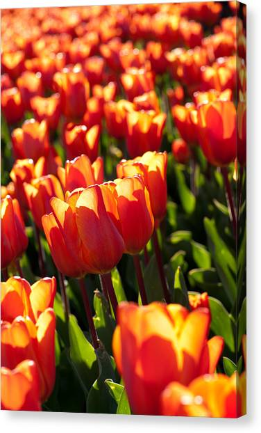 Red Tulips Canvas Print by Francesco Emanuele Carucci