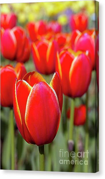 Red And Yellow Tulips I Canvas Print