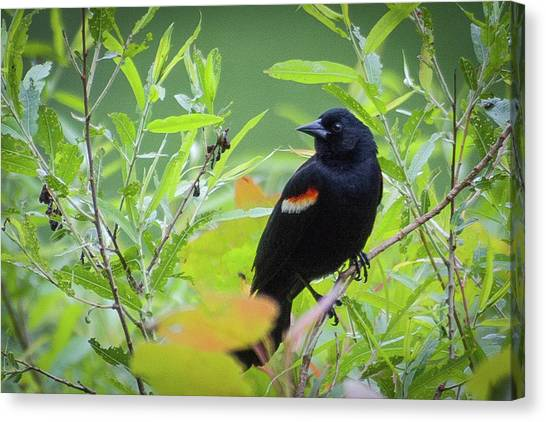 Red Wing In The Marsh Canvas Print