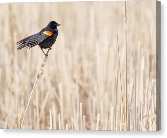 Red-winged Blackbird In A Minnesota Wetland Canvas Print