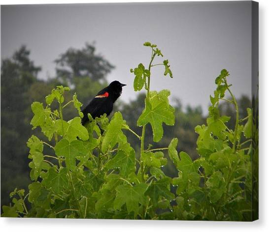 Red Winged Blackbird In The Rain Canvas Print