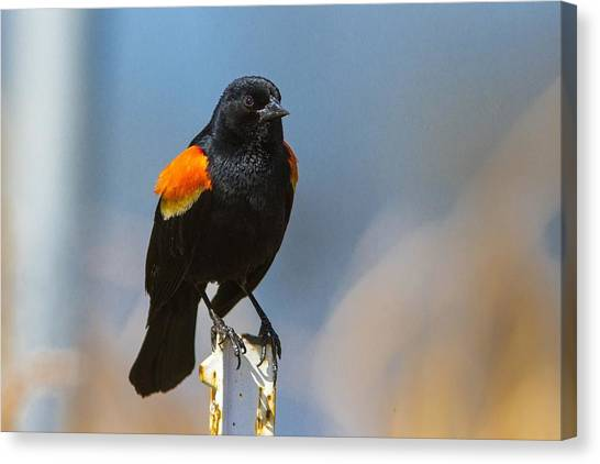 Starlings Canvas Print - Red-winged Blackbird by Super Lovely
