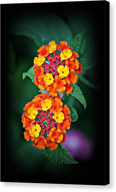 Red Yellow And Orange Lantana Canvas Print
