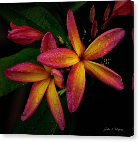 Red/yellow Plumeria In Bloom Canvas Print