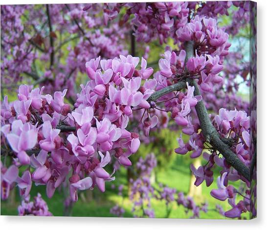 Redbud Purple Pansy Canvas Print by Sandy Collier