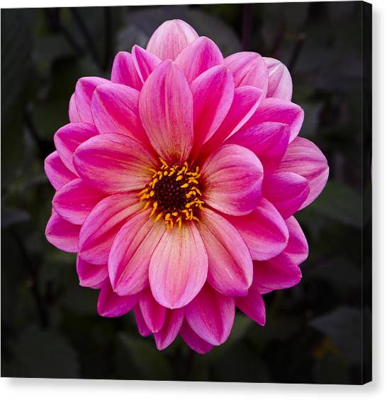 Reddish Dahlia Canvas Print