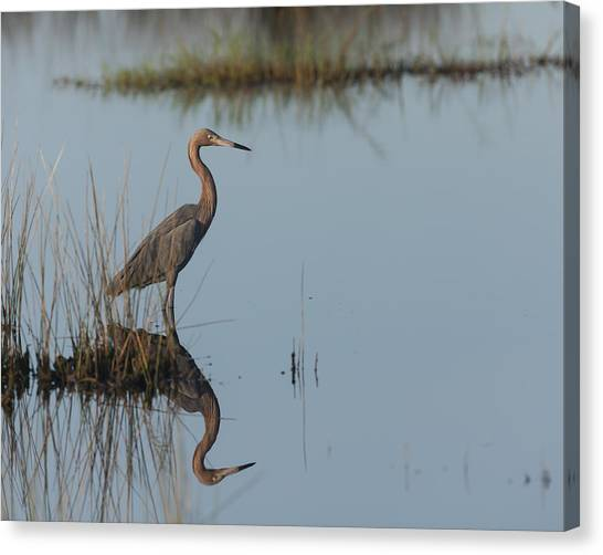 Reddish Egret And Reflection In The Morning Light Canvas Print