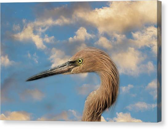 Canvas Print featuring the photograph Reddish Egret by Kim Hojnacki