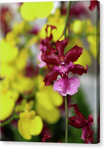 Maroon And Yellow Orchid Canvas Print