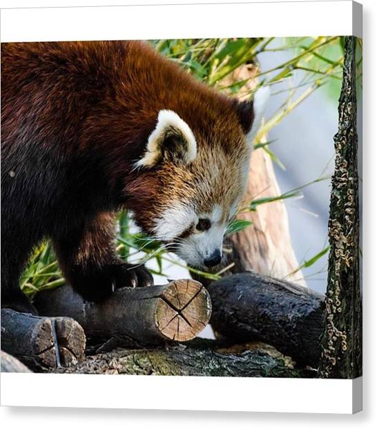 Panda Canvas Print - #redpanda #awesomeearth #nature by Daniel Precht Photography