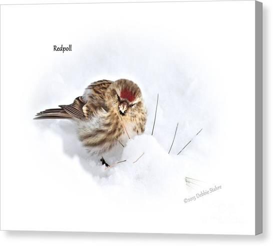 Redpoll Canvas Print
