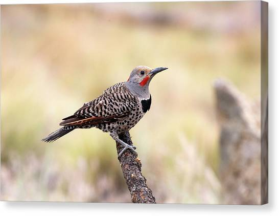 Redshafted Northern Flicker Canvas Print