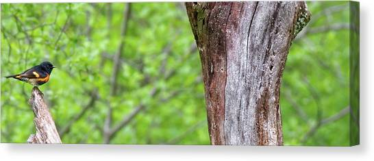Redstart Canvas Print
