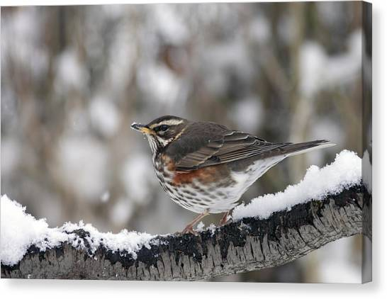 Redwing Perched On A Snowy Branch Canvas Print