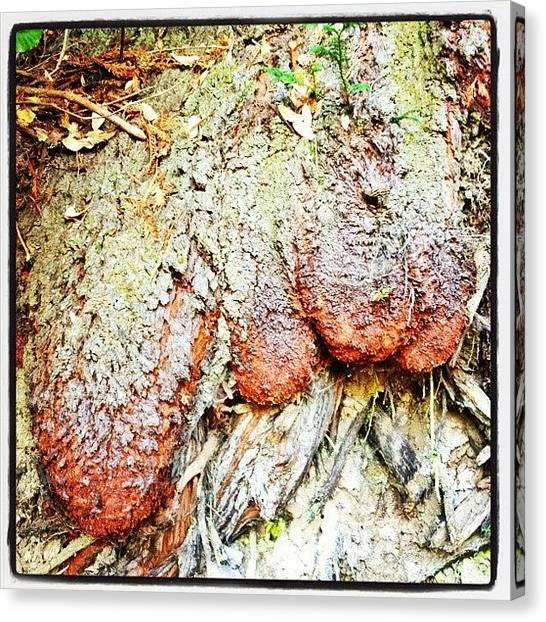Redwood Forest Canvas Print - Redwood Foot / Tree Toes? by Amy Beam
