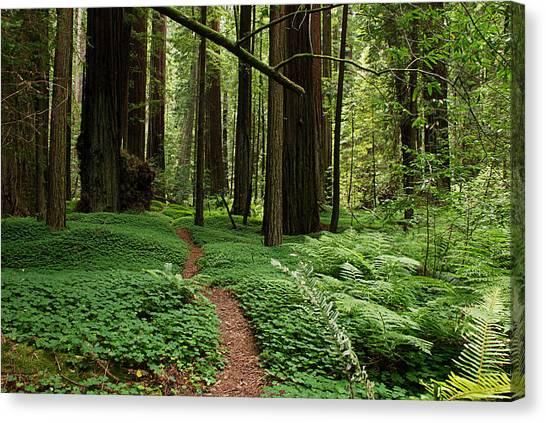 Redwood Forest Canvas Print - Redwood Forest Path by Melany Sarafis