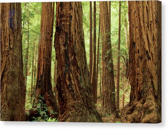 Redwood Forest Canvas Print - Redwood Forest by Soli Deo Gloria Wilderness And Wildlife Photography