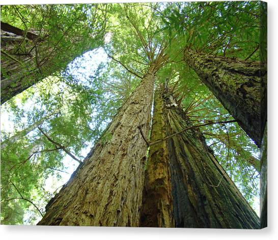Redwood Forest Canvas Print - Redwood Trees Green Branches Sky Art Prints by Baslee Troutman