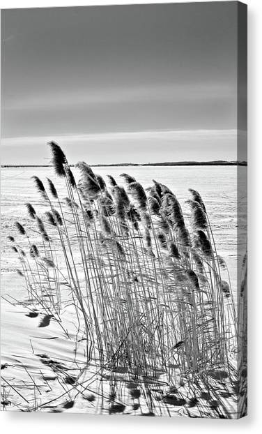Reeds On A Frozen Lake Canvas Print