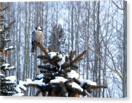 Refined Little Gray Jay In Colorado Canvas Print