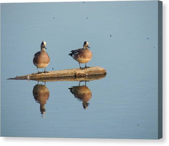 Canvas Print - Reflecting Eurasian Wigeons by Red Cross