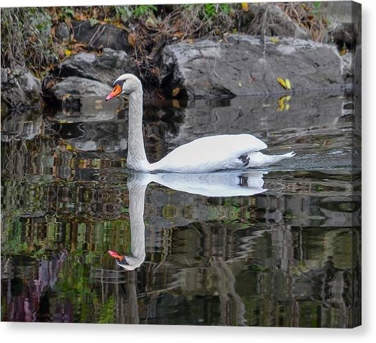 Reflecting Mute Swan Canvas Print
