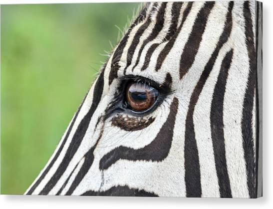 Reflection In A Zebra Eye Canvas Print