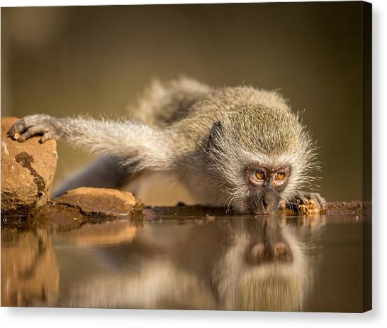 Monkeys Canvas Print - Reflection by Jaco Marx