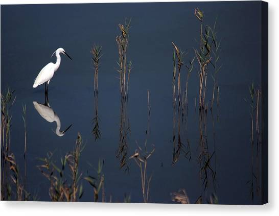 Reflection Of Little Egret In Lake Canvas Print
