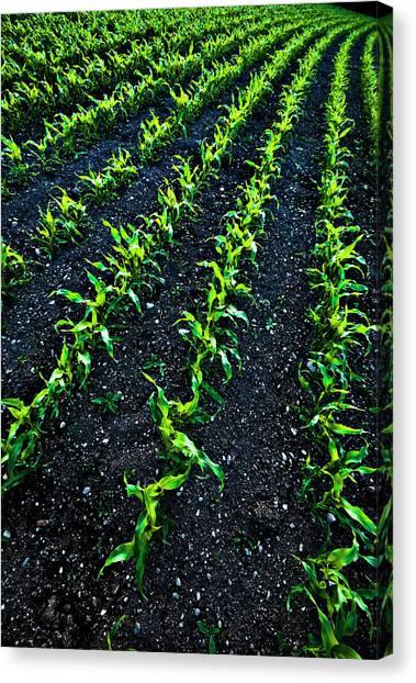 Regimented Corn Canvas Print