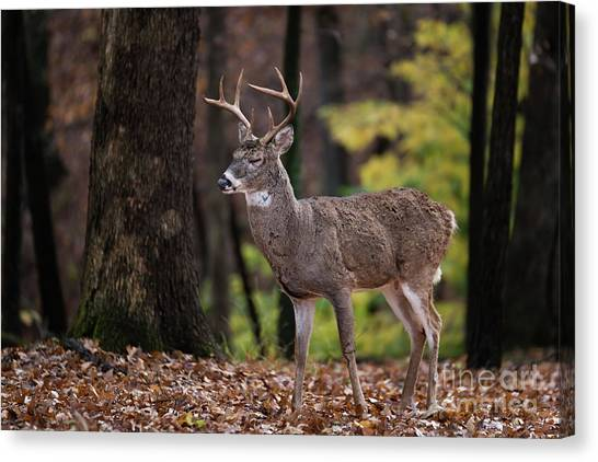 Missouri Whitetail Canvas Print - Relaxed by Andrea Silies
