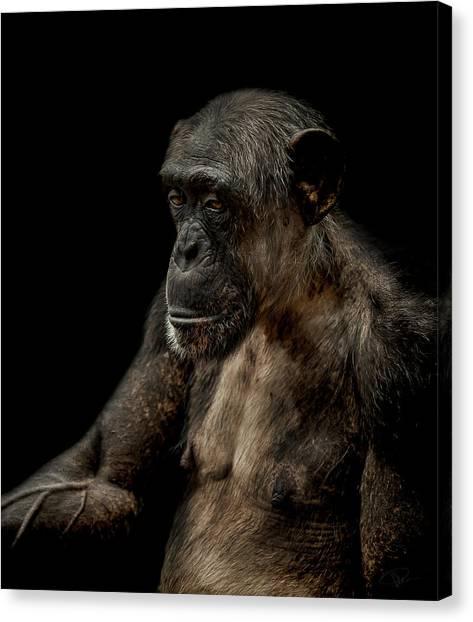 Chimpanzees Canvas Print - Remorse by Paul Neville